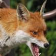 akcja ochronnego szczepienia lisów wolno żyjących przeciwko wściekliźnie